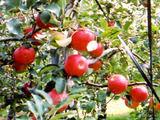 果実の国 カップルズ