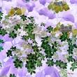 癒しの紫陽花