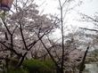 亀城公園の桜:刈谷市のお出かけ