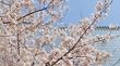 3月のお花見スポット 都筑区で絶対に見ておきたい桜 ベスト5選