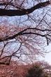 谷中霊園の桜並木を歩く。上野桜木あたりまで。