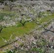 越生の梅畑
