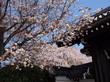☆知る人ぞ知る迫力のあるしだれ桜は、まるで桜のシャワー!!☆本満寺☆