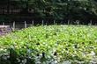 初夏の善福寺公園