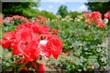 兵庫 尼崎市農業公園の薔薇と花菖蒲2017