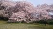 2017 桜 再び、砧公園
