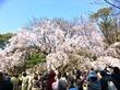 六義園の枝垂れ桜は八分咲き。