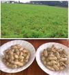 落花生の『ますだ』@千葉県八街市〜房総土産に天日干し国産落花生の新豆