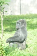 王子動物園の「サクラ」と繁殖に取組☆ニシゴリラ「モモタロウ」