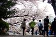【都内屈指の桜の名所】1,100本の桜が咲き誇る新宿御苑を花見さんぽ