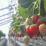 STRAWBERRY FARM 陽一郎園