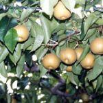 紺野果樹園