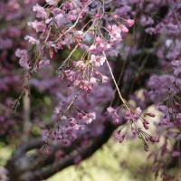 白金台・八芳園で夜桜ライトアップ期間延長!春メニューも延長でお花見ランチ&ディナー