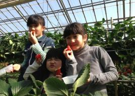 関東イチゴ狩り2017【東京・神奈川・埼玉・千葉・茨城・栃木】