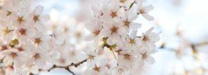 東海・中部お花見2018~桜の名所~