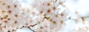 九州沖縄お花見~桜の名所・見ごろ・ライトアップ情報~