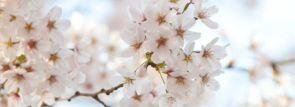 北海道東北お花見2016~桜の名所・見ごろ・ライトアップ情報~