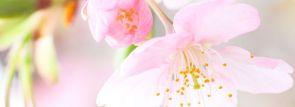 🌸[2017年版] 桜スイーツ&桜ドリンク🌸