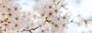 関東お花見2016~桜の名所・見ごろ・穴場・ライトアップ情報~