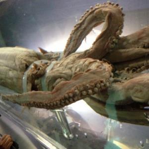 ダイオウイカが見られる水族館・博物館