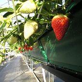 苺の里 毛呂山バリアフリー観光いちご園