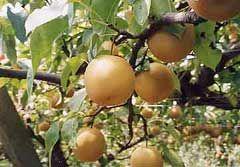 果樹の森 よこせ梨園