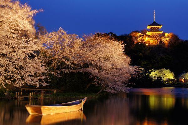桜の並木を通りぬけて…昼も桜、夜も桜