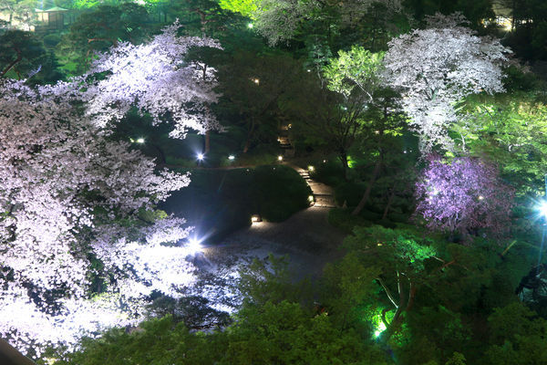 八芳園の夜桜