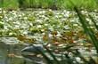 初夏の花がお揃いの、山科は勧修寺氷室池