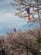 【人気お花見スポット】飛鳥山公園の桜は満開でした☆