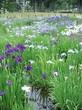 水元公園 菖蒲祭:雨に咲く花