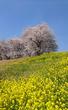 利根運河の桜と菜の花が満開です♪