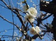 都筑区でおすすめの梅まつり!梅の名所「東方天満宮」で2月下旬に開催