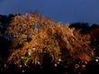 駒込「六義園」のしだれ桜ライトアップ