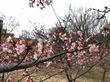 梅と河津桜の両方がお花見できるおすすめスポット!今年の開花状況より見頃予想は3月始めになる見込み