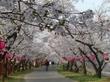 廿日市の桜並木