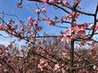 [おすすめお花見スポット] 茅ヶ崎公園でサクラがちょうど見頃に!満開に開花した河津桜の見頃は3月上旬まで