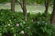 花菖蒲と紫陽花と