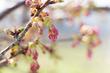 枚方市内の桜の開花状況2019【枚方フォト】