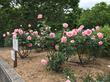 都筑中央公園で行われるイベント「ローザ・つづきく バラまつり」の内容は?(開催日時・場所・タイムスケジュールなど)