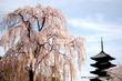 東寺 夜桜ライトアップ~不二の桜に祈りを込めて~