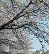 ★藤沢★ 平成最後のお花見その3 【奥田公園】近く 境川沿いの 湘南桜並木!