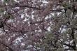 水元公園の桜~しばられ地蔵