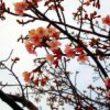 市川:江戸川河川敷の河津桜が今年も綺麗に咲いてます!週末見頃かも【2019年】