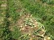 【関西】フルーツ狩り、野菜収穫一覧~いちご狩り、芋ほりなど
