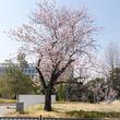 枚方市と周辺の桜の咲きっぷり2018【枚方フォト】