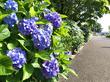 6月が満開で見ごろ!都筑区のあじさいオススメスポット3選