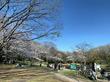 横浜・仲町台「せせらぎ公園」の桜の開花状況!お花見ランチにぴったりだった満開のサクラとは