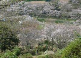 九州沖縄お花見2018~桜の名所・見ごろ・ライトアップ情報~