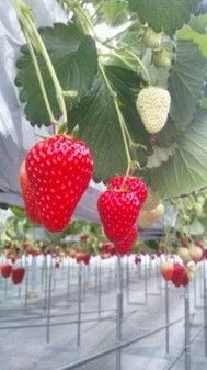 Strawberry Hunt